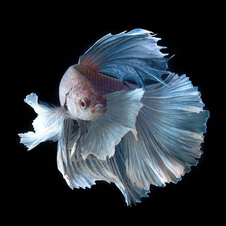 Ikan Hias Yang Mudah Dipelihara Tanpa Oksigen KASKUS